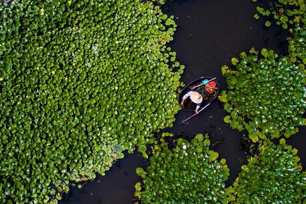 Farmers busy for early autumn harvest in the lotus pond:null