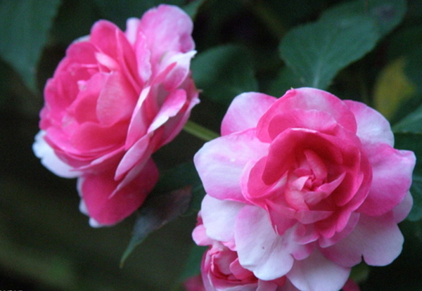 Camellia expo opens in Kunming:null