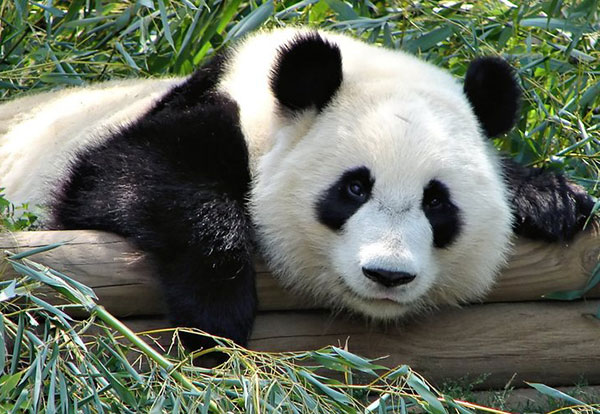 Questions raised following panda deaths:null