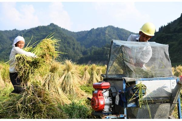 Hybrid rice seeds enter harvest season in Southwest China's Guizhou:null