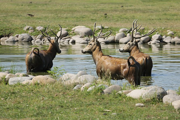 Conservation Union launched to protect China's rare deer:null