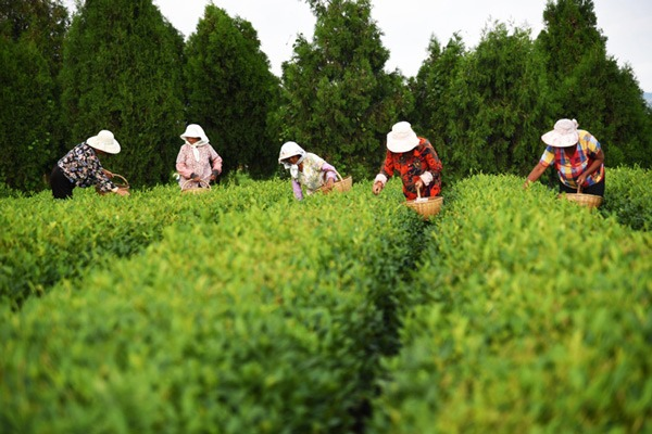 Farmers pick tea leaves at tea garden in E China's Shandong:null