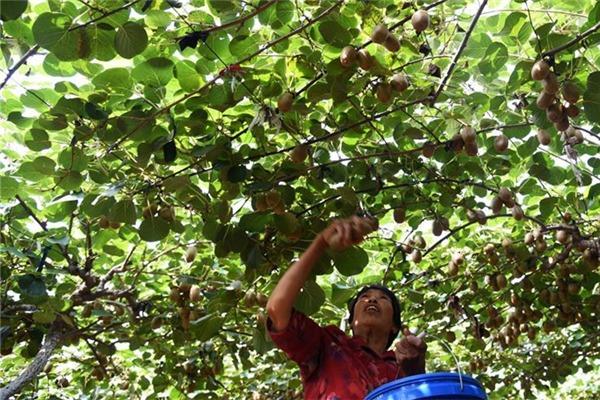 Staff members pick kiwi fruits at Yuanquan township in E China's Shandong:null