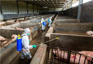 State Council stresses stable hog production:1