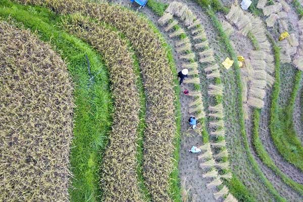 Villagers harvest paddy rice in China's Guizhou:null