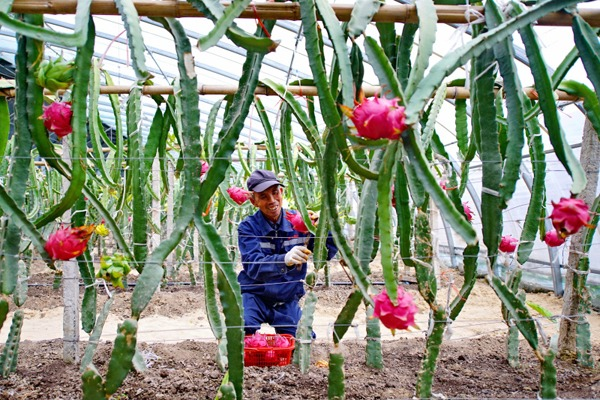 Southern fruits to sweeten farmers' incomes in N China:null