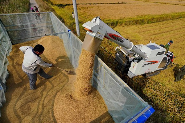 Paddy field in Hebei's Caofeidian District enters harvest season:null