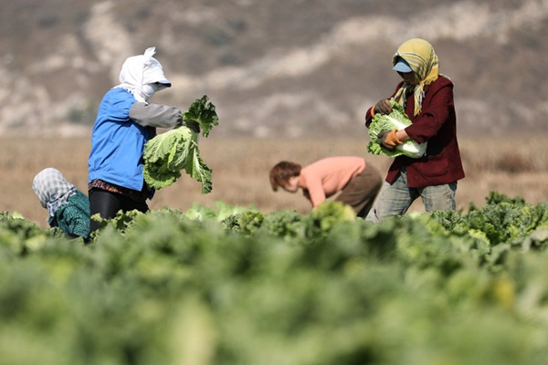 Villagers harvest Chinese cabbages in NE China:null