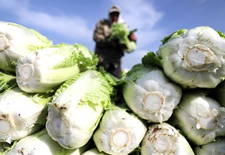 Villagers harvest Chinese cabbages in NE China:0