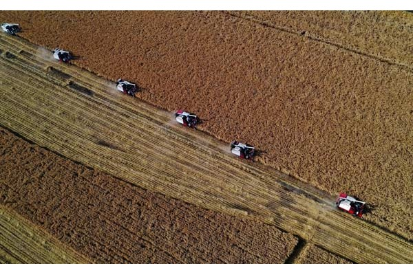 Organic rice field in Caofeidian District of Tangshan enters harvest season:null