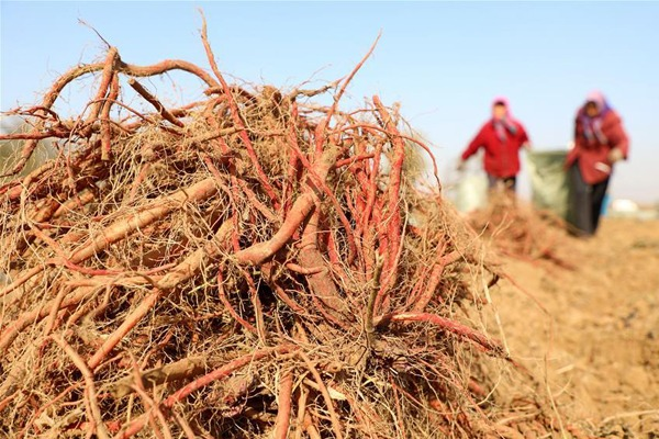Danshen harvested in N China's Hebei:null