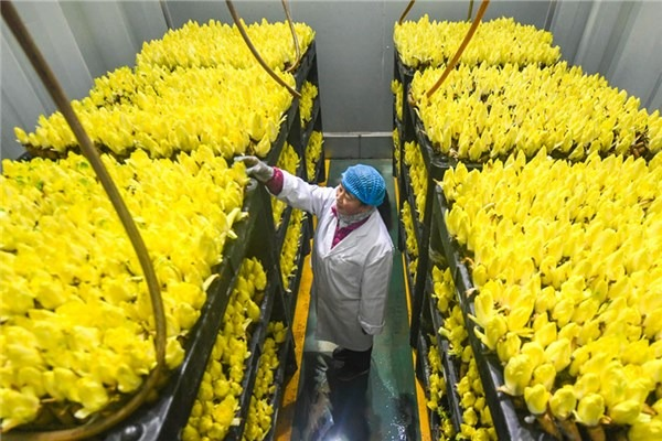 Endive produced in China's Bazhou exported to foreign countries:null