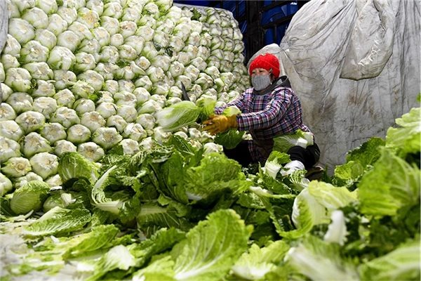 China's Shouguang activates emergency plans to ensure vegetable supply:null