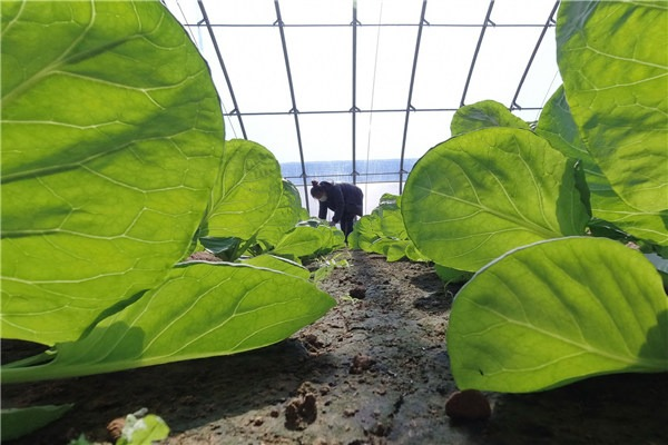 Farmers work in greenhouse at agricultural garden in Luanzhou city, Hebei:null