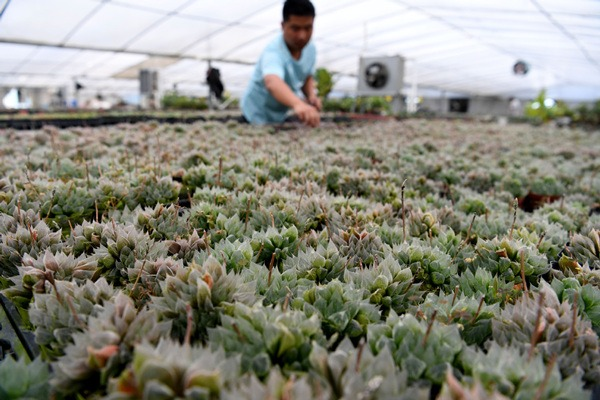 Live broadcast helps farmer sell succulents in Anhui:null