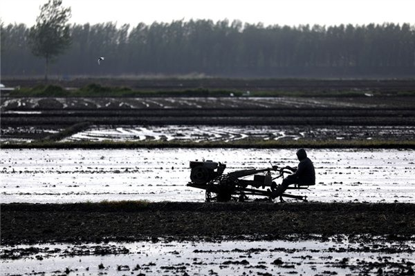 Farmers plant rice seedlings at Desheng village, Liaoning:null