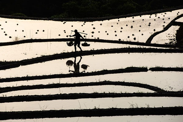 Villagers in Hubei busy transplanting rice seedlings on terraced fields during early summer:null