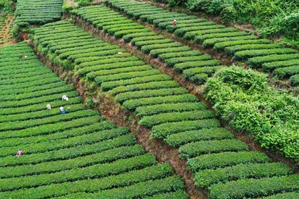 Villagers picking tea leaves in Chongqing:null