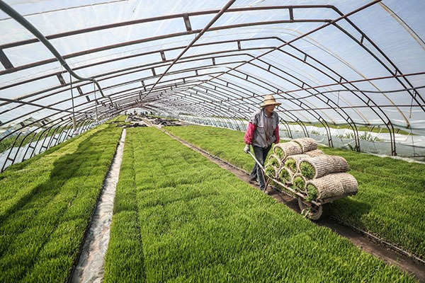 Rice transplanting starts in Liaoning:null