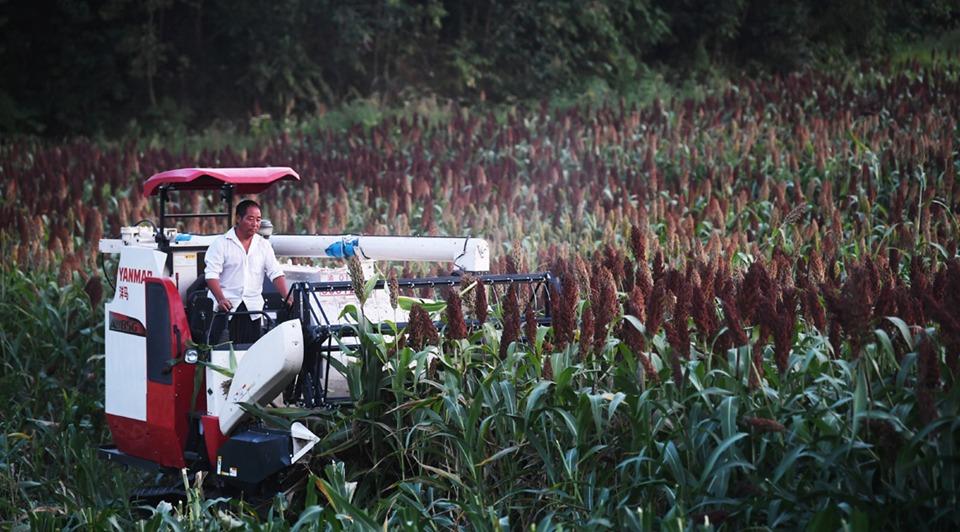 Sorghum harvest underway in Jiangjin district, Chongqing:3
