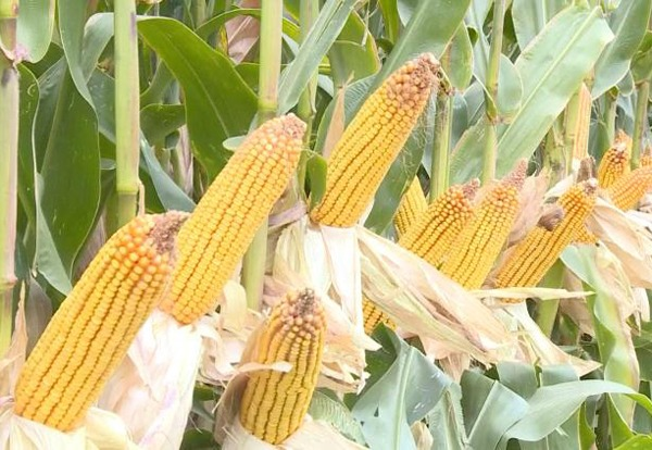 Xinjiang cornfield sets national record for per-hectare production:0