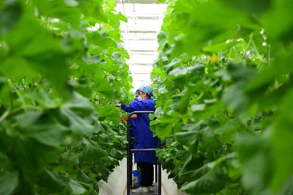 People work in modern vegetable industrial park in Kashgar, Xinjiang:0