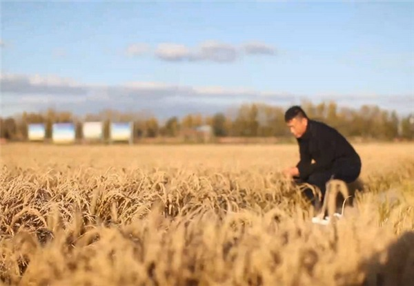 Chinese agricultural experts cultivate high-yielding rice:0